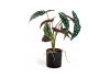 Ornamental Potted Philo Leaf Plant